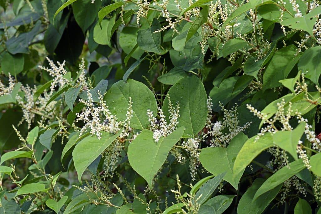 Asian knotweed